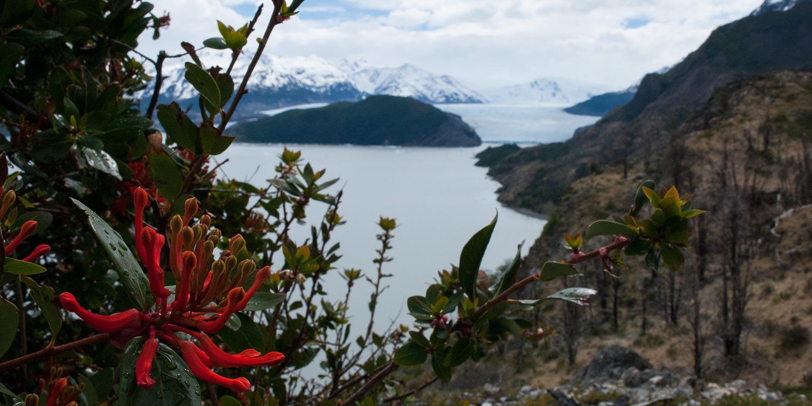 grey_glaciar_chilean-firebush