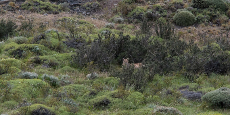 pumacachorro